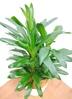 観葉植物 【105cm】 ドラセナ グローカル 8号 #23353 2枚目