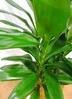 観葉植物 【105cm】 ドラセナ グローカル 8号 #23353 3枚目