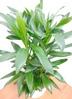 観葉植物 【100cm】 ドラセナ グローカル 8号 #23356 2枚目