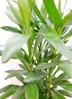 観葉植物 【100cm】 ドラセナ グローカル 8号 #23356 3枚目
