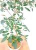観葉植物 【130cm】 フランスゴムの木 8号 #23366 3枚目