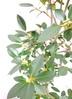 観葉植物 【130cm】 フランスゴムの木 8号 #23366 4枚目