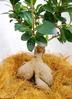 観葉植物 【55cm】 ガジュマル 7号 #23367 2枚目