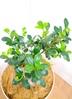 観葉植物 【55cm】 ガジュマル 7号 #23367 3枚目