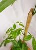 観葉植物 【170cm】 パキラ 10号 #23368 ※1都3県配送限定商品 3枚目