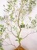 観葉植物 【220cm】 オリーブの木 バロウニ10号 #23374 ※1都3県配送限定商品 2枚目