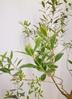 観葉植物 【220cm】 オリーブの木 バロウニ10号 #23374 ※1都3県配送限定商品 3枚目