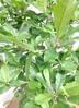 観葉植物 【120cm】[ 希少 ] ミラクルフルーツ 8号 #23388 2枚目