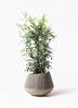 観葉植物 シルクジャスミン(げっきつ) 8号 エディラウンド グレイ 付き