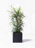 観葉植物 シルクジャスミン 8号 ベータ キューブプランター 黒 付き
