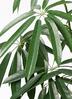 観葉植物 シェフレラ アンガスティフォリア 10号 曲り ラスターポット付き 2枚目