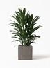 観葉植物 ドラセナ グローカル 8号 コンカー キューブ 灰 付き