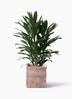 観葉植物 ドラセナ グローカル 8号 テラアストラ カペラキュビ 赤茶色 付き