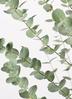 観葉植物 ユーカリ 8号 グニー ラスターポット 付き 2枚目