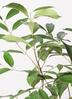 観葉植物 アマゾンオリーブ (ムラサキフトモモ) 8号 ファイバークレイ Gray 付き 2枚目