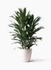 観葉植物 ドラセナ グローカル 8号 ラスターポット 付き