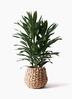 観葉植物 ドラセナ グローカル 8号 ラッシュバスケット Natural 付き