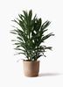観葉植物 ドラセナ グローカル 8号 リブバスケットNatural 付き
