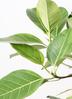 観葉植物 フィカス アルテシーマ 10号 ストレート エコストーンwhite 付き 2枚目