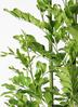観葉植物 シルクジャスミン(げっきつ) 10号 フォリオソリッド クリーム 付き 2枚目