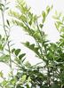 観葉植物 シルクジャスミン 8号 ベータ キューブプランター 黒 付き 2枚目