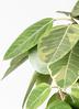 観葉植物 フィカス アルテシーマ 8号 ストレート ファイバークレイ Gray 付き 2枚目