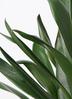 観葉植物 ドラセナ グローカル 8号 ラスターポット 付き 2枚目
