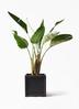 観葉植物 オーガスタ 8号 ブリティッシュキューブ 付き