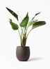 観葉植物 オーガスタ 8号 テラニアス バルーン アンティークブラウン 付き