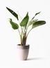 観葉植物 オーガスタ 8号 ファイバーストーンカプリ サンディホワイト 付き