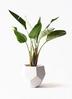 観葉植物 オーガスタ 8号 ポリゴヘクサ 白 付き