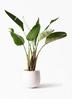 観葉植物 オーガスタ 8号 エコストーンwhite 付き