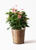 観葉植物 アンスリウム 8号 ピンクチャンピオン 竹バスケット 付き