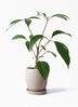 観葉植物 ツピダンサス 3.5号 ボサ造り アステア トール ベージュ 付き