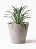 観葉植物 アガベ 7号 ベネズエラ アートストーン ラウンド グレー 付き