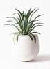 観葉植物 アガベ 7号 ベネズエラ エコストーンwhite 付き