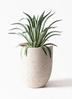 観葉植物 アガベ 7号 ベネズエラ ビアスアルトエッグ 白 付き