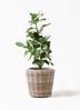 観葉植物 フィカス ベンガレンシス 7号 ストレート モデリック ラタン 付き
