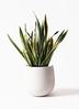 観葉植物 サンスベリア 10号 トラノオ エコストーンwhite 付き 3枚目