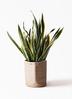 観葉植物 サンスベリア 10号 トラノオ リブバスケットNatural 付き 3枚目