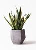 観葉植物 サンスベリア 10号 トラノオ ファイバークレイGray 付き 3枚目