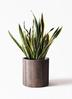 観葉植物 サンスベリア 10号 トラノオ アルファシリンダープランター 付き 3枚目
