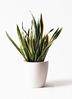 観葉植物 サンスベリア 10号 トラノオ ラスターポット 付き 3枚目