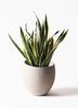 観葉植物 サンスベリア 10号 トラノオ エコストーンLight Gray 付き 3枚目