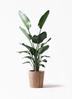 観葉植物 オーガスタ 10号 ウッドプランター
