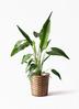 観葉植物 旅人の木 8号 竹バスケット 付き
