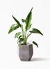 観葉植物 旅人の木 8号 ファイバークレイ Gray 付き