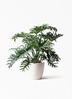 観葉植物 セローム ヒトデカズラ 8号 ボサ造り ラスターポット 付き