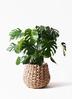 観葉植物 モンステラ 8号 ボサ造り ラッシュバスケット Natural 付き