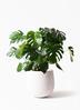 観葉植物 モンステラ 8号 ボサ造り エコストーンwhite 付き